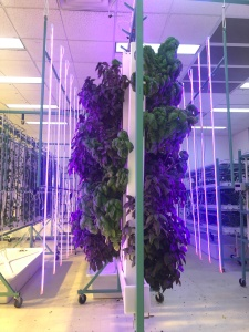 Hydroponic plants at Cotton Street Farms